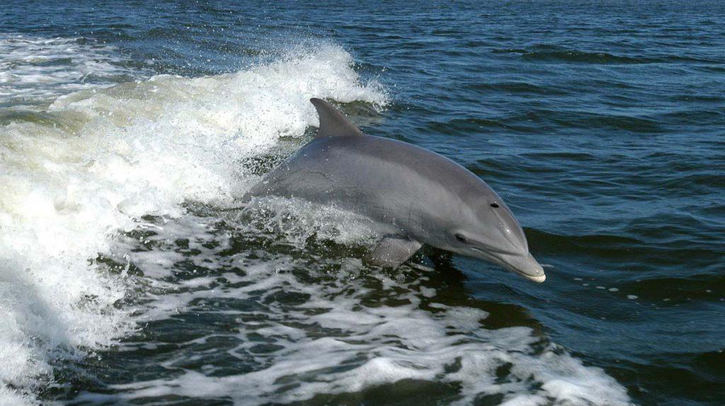 ВФинском заливе чудом появились дельфины-афалины