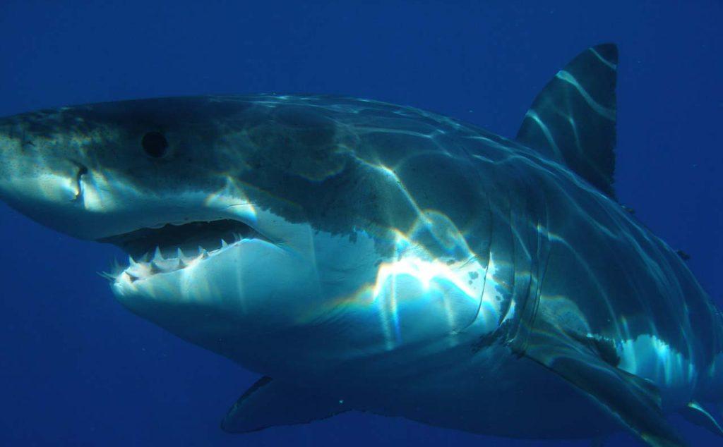 Рацион большой белой акулы удивил ученых