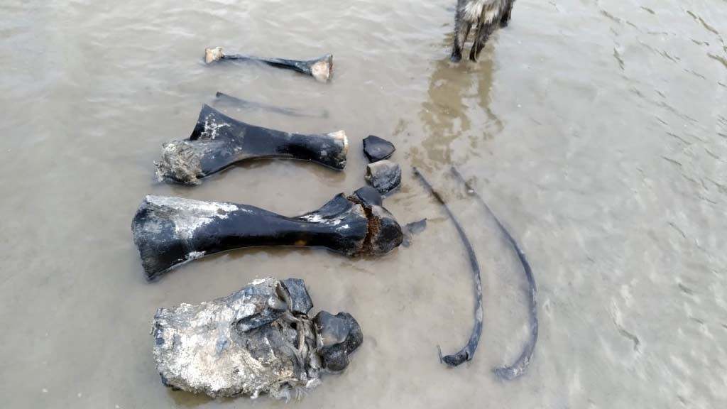 ВРоссии нашли практически полный скелет мамонта