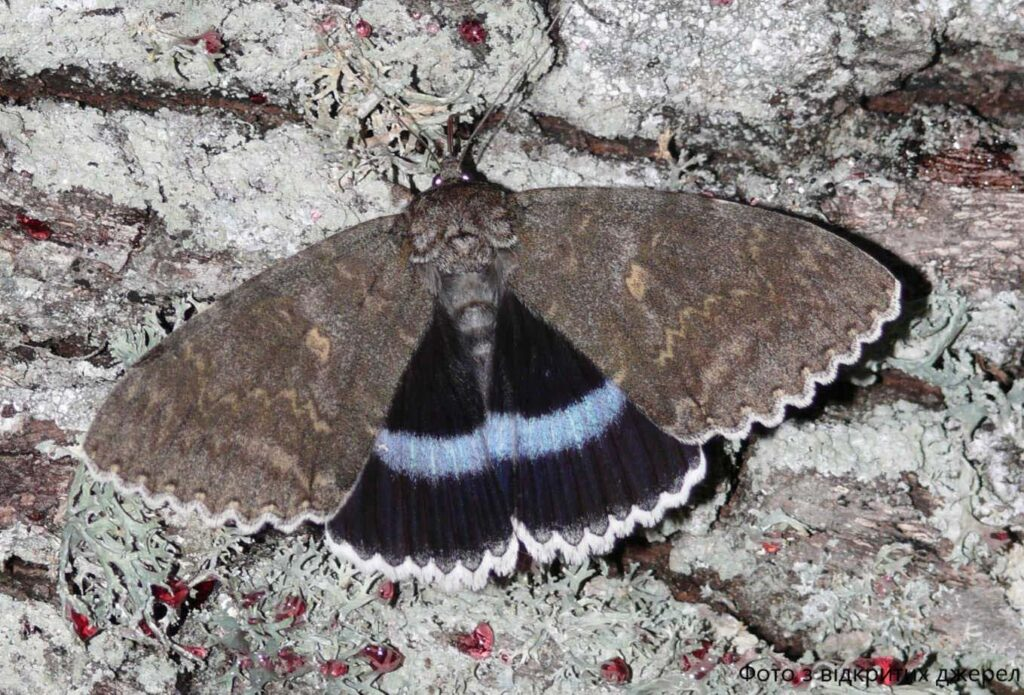 Под Чернобылем поймали гигантскую бабочку
