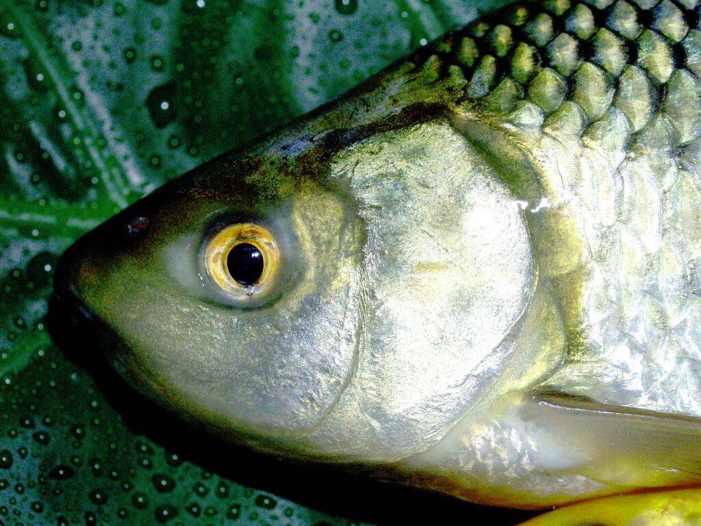 Впресноводной рыбе Сибири обнаружен микропластик