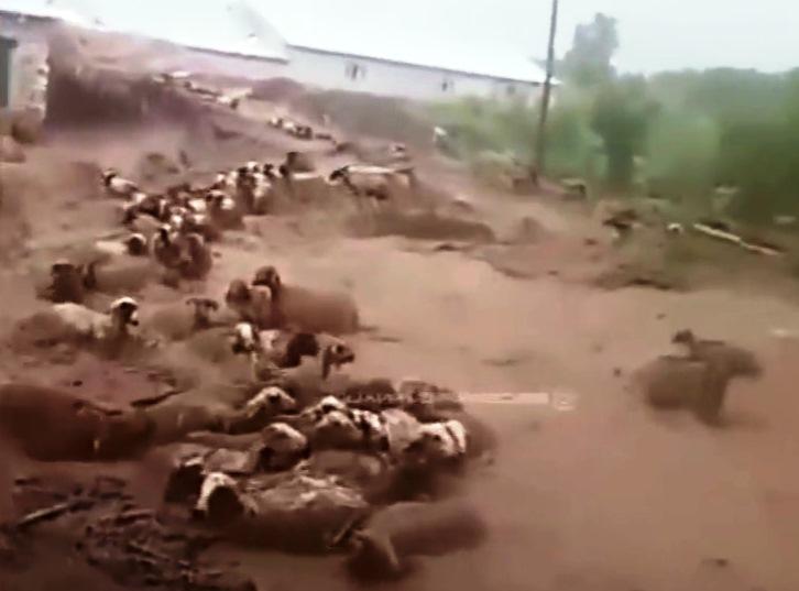 Катастрофическое наводнение вМарокко смывает целые стада овец