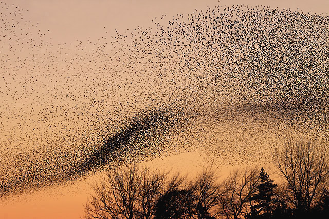 ВАнглии сняли удивительное видео мурмурации птиц