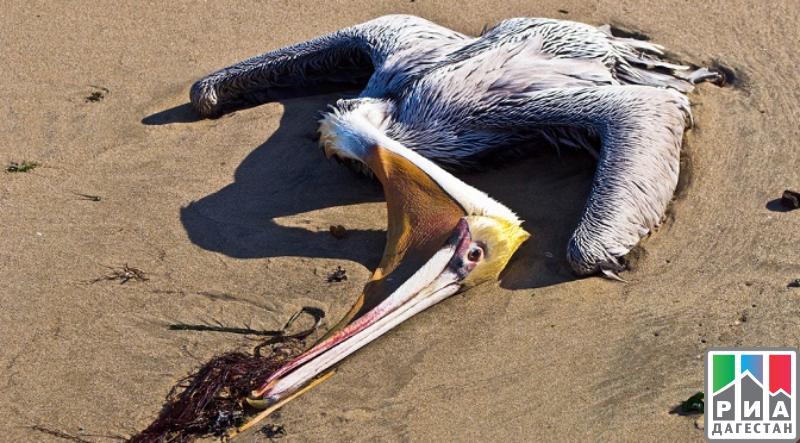 Десятки мертвых краснокнижных пеликанов нашли вДагестане
