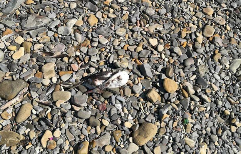 Наберегах Черного иКаспийского морей отмечают случаи массовой гибели птиц
