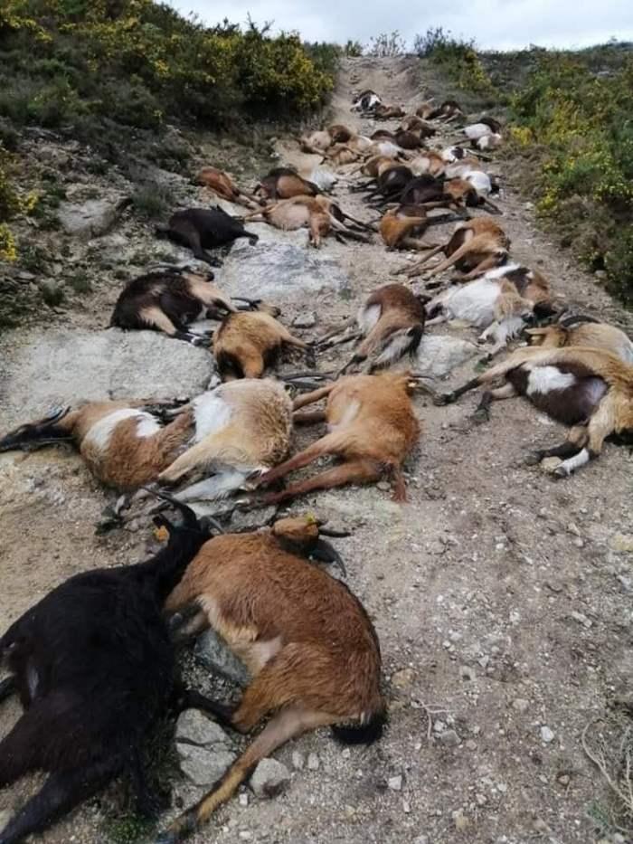 68 коз одновременно убила молния вПортугалии